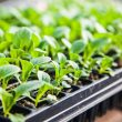 germinate seeds for hydroponics